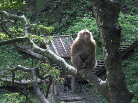 Emei shan monkey 2