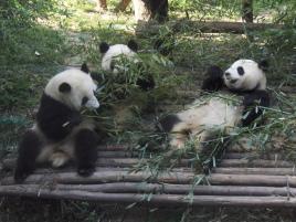 Panda lunch time